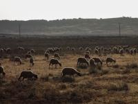 Troupeau de mouton dans le moyen Atlas