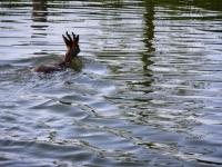 Un chevreuil prend son bain